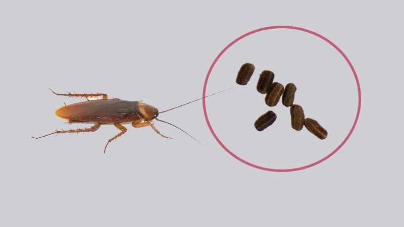 Poop of roaches