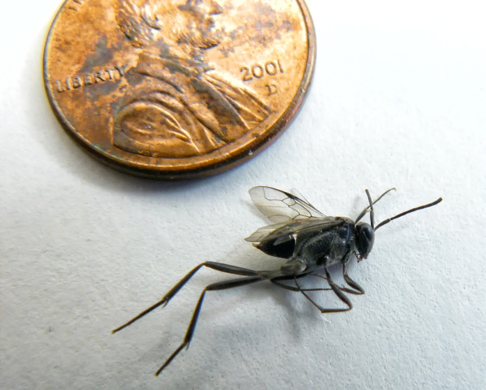 Ensign Wasp size comparison